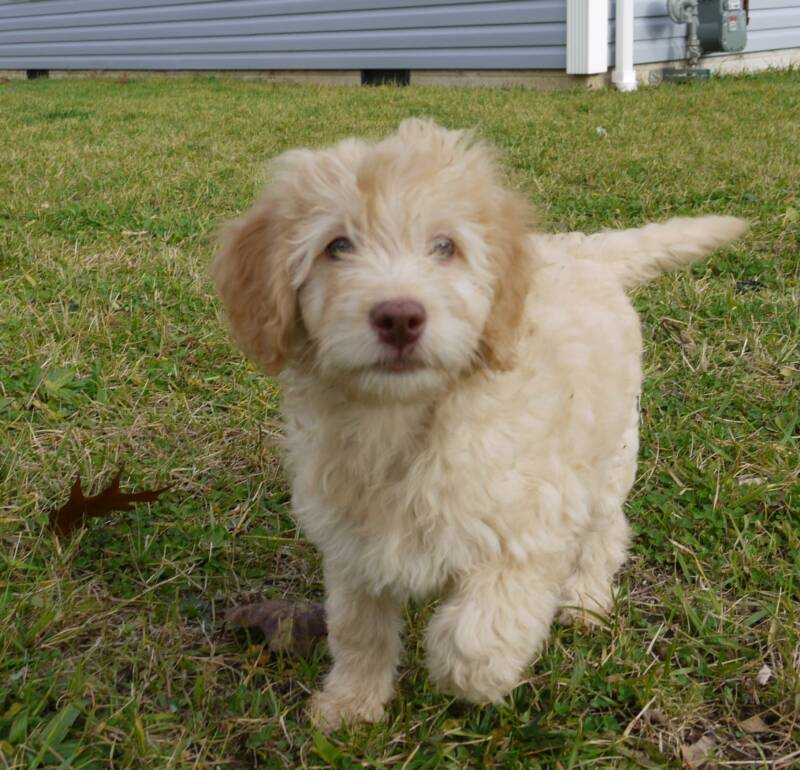 The gallery for --> Full Grown Goldendoodle