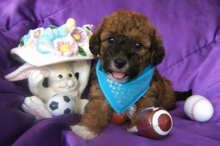 Teacup Labradoodle Full Grown F1b mini labradoodle in ohio