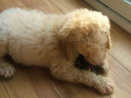 f1b goldendoodle pictures. PREVIOUS F1B GOLDENDOODLES